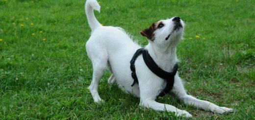 Derzeit geht die Wissenschaft davon aus, dass Hunde sich nicht mit dem Coronavirus infizieren und diesen auch nicht auf Menschen übertragen können.Foto: Susann Berger