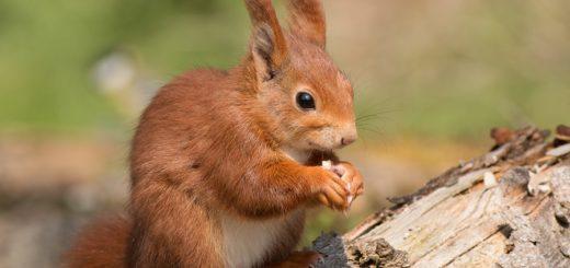 Zu den Lieblingsspeisen des Eichhörnchens gehören Nüsse und Samen, manchmal nagen sie auch an Baumrinden herum. Foto: Wolfgang Kiesewetter/NABU