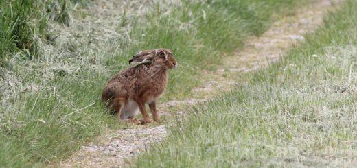 Der Feldhase liebt die Vielfalt. Deshalb sind für ihn Blühstreifen an Ackerrändern wichtig. Kaninchen sind hingegen anpassungsfähiger.Foto: Oscar Klose/NABU
