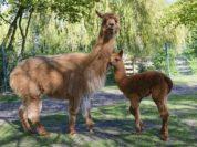 Alpakastutfohlen Nele mit Mutter Nahla. Foto: Rolf Voss Jaderberg
