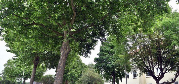 Die Delmenhorster Politik und Verwaltung beschäftigt sich aktuell mit dem Baumbestand auf öffentlichen und privaten Grundstücken. Foto: Konczak