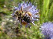 Die Hosenbiene (l.) und die Zweihöckrige Mauerbiene (r.) stehen auf der Vorwarnliste der Roten Liste Bienen in Niedersachsen. Bei Kaemenas in Oberneuland haben sie einen passenden Lebensraum gefunden. Fotos. Kaemena