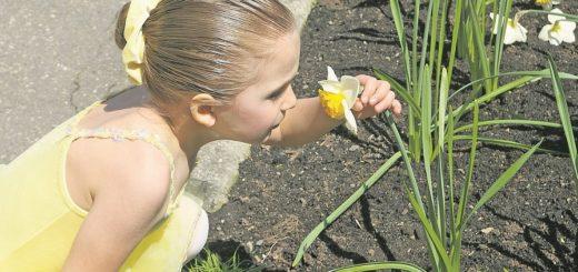 Blühende Narzissen wecken die Neugier des Kindes.Foto: Aimeeimbeau/Pixabay