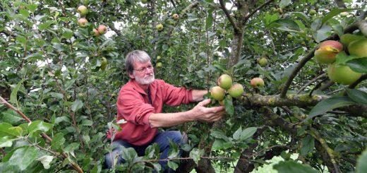 Nicht nur die Apfelbäume von Martin Clausen hängen voller Früchte. Zur Freude vieler Gartenbesitzer beginnt am morgigen Montag in der Mosterei Sandhausen die neue Mostsaison.Foto: Konczak